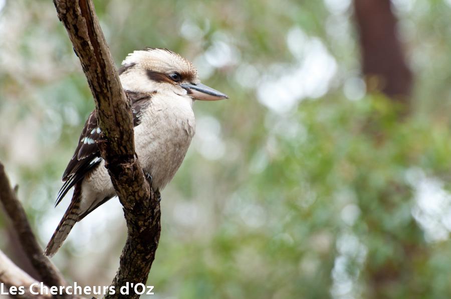 Kookaburra 001