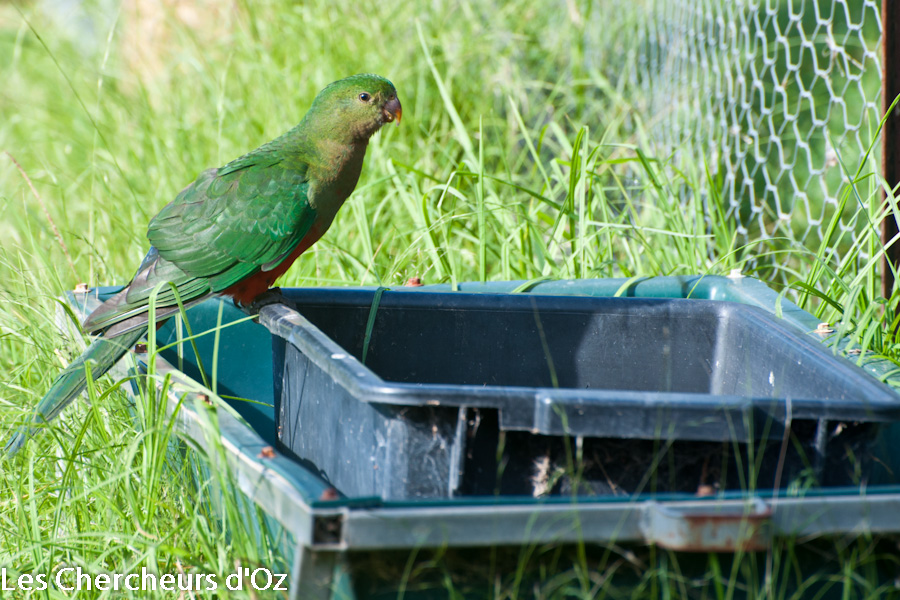 King Parrot 001