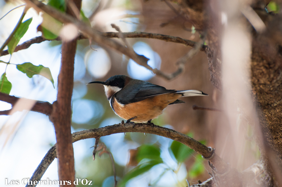 Eastern Spinebill-001-2