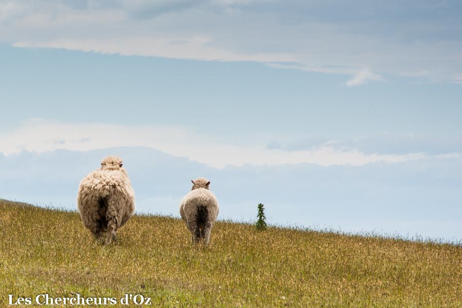 Sheep-001
