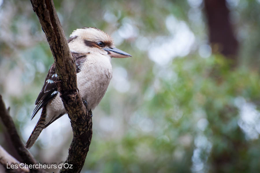 Blue-winged Kookaburra-001