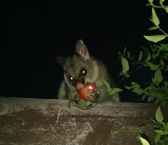 Possy possum