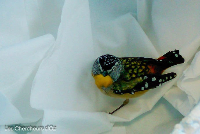 Spotted pardalote-001